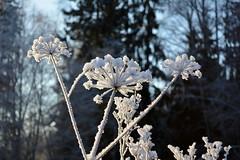 Myllykoski rapid at -19C (River Vantaanjoki, Nurmijrvi, 20160110) (RainoL) Tags: winter plants snow plant cold finland river geotagged vantaanjoki frost january fin angelica rapid vantaa 2016 uusimaa umbelliferae apiaceae forst nyland nurmijrvi angelicasylvestris wildangelica myllykoski 201601 vanda karhunputki palojoenmetskyl 20160110 geo:lat=6045393893 geo:lon=2485375215
