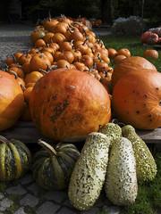 ZIERKUERBISSE (bolliger51) Tags: schweiz flora landwirtschaft natur bern che frucht ins gemüse kürbisse kürbis seeland cucurbita kantonbern sorten zierkürbisse feldfrucht schweizsuissesvizzeraswitzerland gemüsesorten