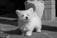 Neve. Snow. (omar.flumignan) Tags: bw dog white snow black cane canon puppy eos blackwhite ngc 7d neve maltese bianco nero cucciolo ef24105f4lisusm allnaturesparadise