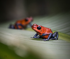 strawberry red poison frogs (marianna armata) Tags: red macro cute animal strawberry costarica bokeh amphibian frog tiny poison hmm bluelegged mariannaarmata p2180307 lumixstories