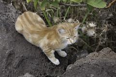 Rano Raraku Cat (blueheronco) Tags: cat easterisland rapanui isladepascua ranoraraku