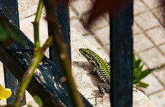 Little creature in my garden (giovyskia) Tags: italy green home nature strange animal garden wilde sicily creature giardino lucertola rettile
