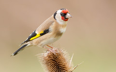 European Goldfinch (Carduelis carduelis) (George Wilkinson) Tags: bird canon european wildlife goldfinch yorkshire 7d british 400mm rspb oldmoor cardueluscarduelis