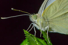 Kleiner Kohlweiling Pieris rapae 160325 016.jpg (juergen.mangelsdorf) Tags: butterfly schmetterling pieridae tagfalter weislinge