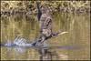 Cormorant Departure (John R Chandler) Tags: uk bird unitedkingdom cormorant coventry takingoff westmidlands warwickshire greatcormorant phalacrocoraxcarbo brandonmarsh warwickshirewildlifetrust