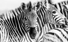 Zebras in B&W (Sheldrickfalls) Tags: southafrica zebra mpumalanga plainszebra burchellszebra lydenburg kuduranch kuduprivatenaturereserve kudugameranch