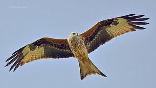 Red Kite (explored)