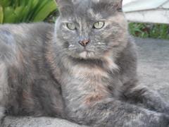 Matilda my Gorgeous Girl (Matilda&Charlie&Josie ~ MCJ) Tags: cat matilda 10yo greybluecreamtortoishell