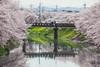 橿原市の桜 (igu3) Tags: japan sakura nara