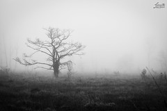 Moorstimmung II (Luziferian) Tags: blackandwhite bw mist tree blancoynegro nature monochrome misty fog backlight dark landscape haze mood moody gloomy noiretblanc foggy atmosphere swamp marsh hazy moor bog fen deformed schwarzweis atmospherical dosenmoor