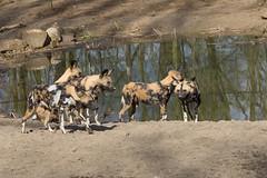 African wild dog 2016-04-01-0422 (BZD1) Tags: nature animal mammal natuur carnivore africanwilddog mamal lycaon lycaonpictus carnivora chordata canidae afrikaansewildehond gaiazoo hondachtigen choradata