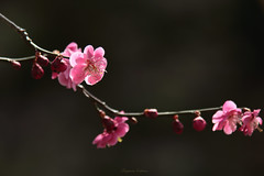 One flower which shines (shig.) Tags: pink flowers trees flower tree spring blossom blossoms ume