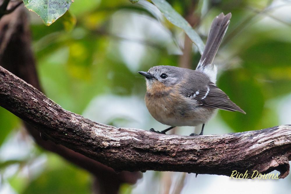 Elepaio Bird