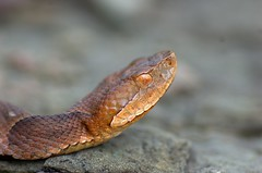 Looking up - Northern Copperhead (Agkistrodon c. mokasen) (aaronsemasko) Tags: shot head pennsylvania snake northern venomous copperhead agkistrodon mokasen