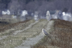 snowy owl guards the path (material guy) Tags: massachusetts newburyport plumisland snowyowl parkerrivernwr photoshopelements7