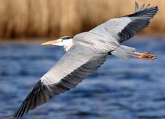 Grey Heron (Explore) (NickWakeling) Tags: heron nature birds wildlife norfolk greyheron rspb canonef400mmf56lusm canon60d strumpshawfen