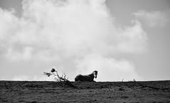 Pembrokeshire Horse (Simon Maisie Photography) Tags: pembrokeshire wales welsh horse farm animal nature countryside british britain gb uk unitedkingdom photography digital nikon d7200 sclarephoto simonclare simoncphotography travel trip visit bw blackandwhite mono monochrome monochromatic contrast tones shades shadows black white grey photographs for sale wwwsimonmaisiephotographycoukprints
