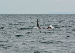 DSC_8096 ew20160320 (Selena Rhodes Scofield Photography) Tags: ocean wildlife whales orca sanjuanislands killerwhales orcinusorca jpod salishsea southernresidentkillerwhales srkw selenarhodesscofieldphotography