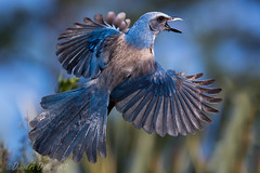 Up, Up, and Away!  8540 (Dr DAD (Daniel A D'Auria MD)) Tags: bird nature wildlife birding scrubjay naturephotography floridascrubjay wildlifephotography floridabirds endemicbirds scrubhabitat drdadbooks danieladauriamd childrenswildlifebooksbydanieladauriamd february2016 floridasendemicbirds