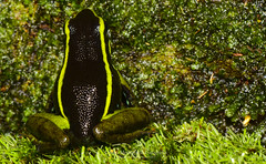 Ameerega trivittata (Diego Meneghelli Fotografia) Tags: macro nature animal brasil amazon amphibians amaznia anura amphibia dendrobatidae parna rondnia anfbios mapinguari ameerega