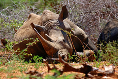 Rhino on a hot day (escaped poaching sofar) (tdwrsa) Tags: krugerpark whiterhino canoneos70d tamronsp150600mmf563divcusda011