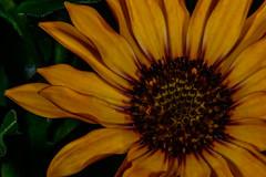Mr. Sunshine on a Cloudy Day (kanaristm) Tags: red sun green sunshine yellow nikon cloudy bloom 28300mm d800e canon500dmacrolens