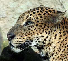 shrilankan panther Burgerszoo JN6A5552 (j.a.kok) Tags: leopard panther burgerszoo panter shrilankapanter shrilankanleopard shrilankanpanther
