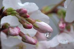 Rainy Afternoon (KsCattails) Tags: pink flower tree water cherry spring nikon blossom kansas droplet flowering raindrop d7000 kscattails