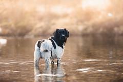 Robin bader-2 (Lina Kayser) Tags: summer dog swimming sommer hund bader stabijhoun logrehundefoto