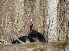 Wild Turkeys  IMG_3794 (PRS North Star) Tags: wildlife turkeys wildturkeys springgobbler gamebirds parkerdamstatepark