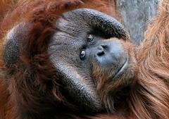 Wise Man Of The Forest (Ger Bosma) Tags: male face eyes head orangutan leader ruler orangoutang alphamale pongopygmaeus orangotango orangutn borneanorangutan borneoorangutan borneoseorangoetan  orangutndeborneo orangoutandeborno 2mg109269
