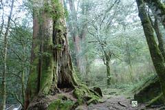 0497-cg illusion (ZiSun...) Tags: zeiss sony taiwan alishan sacredtree carlzeiss kamiki rx100m3 sonyrx100m3