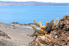 Cactus on the Rocks  _3295 (hkoons) Tags: ocean sea history latinamerica southamerica birds america landscape island lava islands ecuador marine pacific country darwin historic galapagos spanish pacificocean hispanic saltwater equator iquana naturalselection galapagosprovince new7wonders galapagosnationalpark galapagosmarinereserve galpagos nazcaplate galapagostriplejunction bartolame