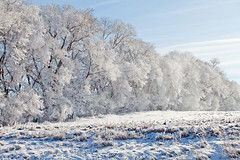 Frosted Trees (Zack Mensinger) Tags: winter minnesota eos midwest frost hoarfrost 2016 westernminnesota canon5dmarkii