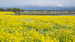 Fukushimagata Lagoon (bamboo_sasa) Tags: flower yellow japan spring lagoon 日本 niigata 花 春 rapeblossoms 菜の花 新潟 fukushimagata 福島潟