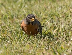 American Robin Eating Bug (ruthpphoto) Tags: robin americanrobin avian flickrsbest