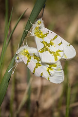 Olympia Marble Butterfly (Brett Whaley) Tags: minnesota butterfly april savanna 2016 euchloeolympia olympiamarble uncasdunessna
