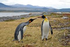 Penguin love (Pavla Frysova) Tags: life travel sea wild patagonia cold cute bird love argentina birds animal animals america standing outdoors island penguin penguins marine couple king day natural pair south mates poking antarctic kingpenguin