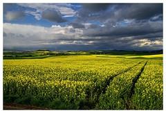 20160424-173644 (lichtschattenjaeger) Tags: yellow landscape gold diesel bio eifel gelb raps biodiesel vulkan getreide gerste weizen benzin hafer biosprit