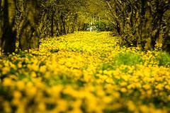 IMG_8692.jpg (vossemer) Tags: de deutschland jahreszeiten natur pflanzen blumen frhling blten niedersachsen lwenzahn jork frhjahr