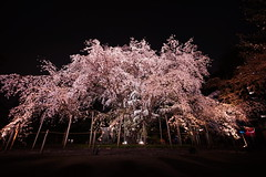 Weeping cherry tree in RIKUGIEN (ksnyan_1975) Tags: sony cosina wide 15 super  cherryblossom sakura alpha voightlander  15mm a7 swh rikugien heliar vm  superwideheliar alpha7 7  sonya7 a7m2 ilce7m2 7