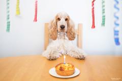 Happy Birthday Milo! (cornilc) Tags: birthday dog love cake photoshop 35mm fuji milo happiness celebration fujifilm spaniel cocker xseries xt1