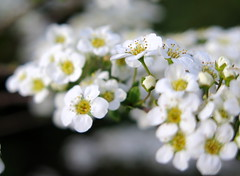 Spring bride ... :-) ( Bo ) Tags: plant flower macro garden bride blossom powershot mayday bankholiday spiraea canong16 spring2016