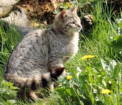 european wild cat Anholt JN6A8712 (j.a.kok) Tags: cat kat wildcat anholt wildekat europeanwildcat europesewoldekat