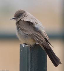 Say's Phoebe (ccbird1) Tags: phoebe flycatcher saph