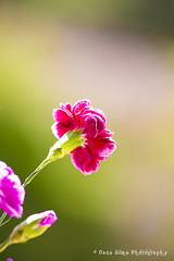 small carnations (Oana Dima) Tags: pink flowers green nature violet fresh carnations