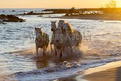 40081126 (wolfgangkaehler) Tags: sunset horse white france beach water french europe mediterranean european running backlit splash herd mediterraneansea backlighting eveninglight camargue southernfrance splashing galloping 2016 whitehorses camarguehorses