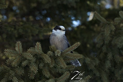 Content Jay (Seventh day photography.ca) Tags: winter ontario canada bird animal wildlife wildanimal greyjay whiskyjack