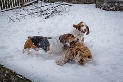 4/4/16 Day 180 (GarrettHerzig) Tags: winter dog snow cold boston fuji basset bassethound jamaicaplain 365project x100t fujix100t