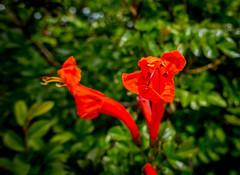Cape Honeysuckle - Happy Sliders Sunday (randyherring) Tags: california flowers red orange plant macro green leaves closeup us spring flora unitedstates sanjose depthoffield bloom springflowers bloomingflower capehoneysuckle tecomacapensis